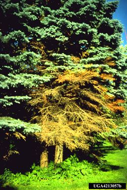 Spruce Tree with Cytospora