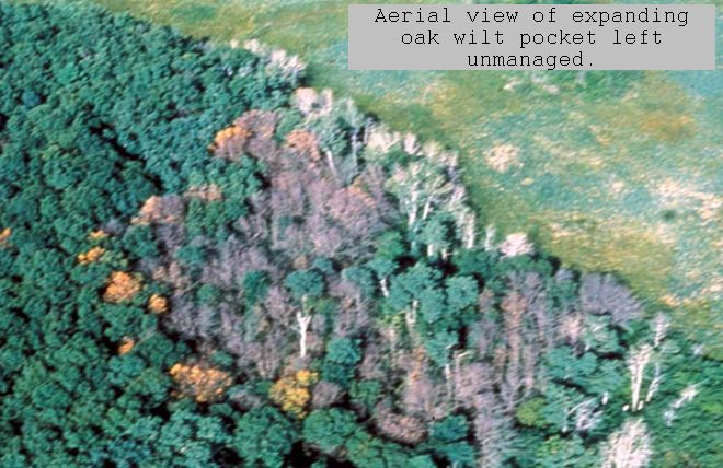Aerial View of Expanding Oak Wilt